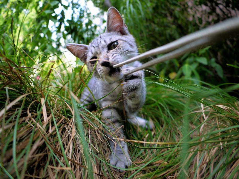 カメラのストラップで遊ぶサバトラ仔猫1