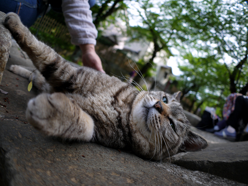 寝そべるキジトラ猫1