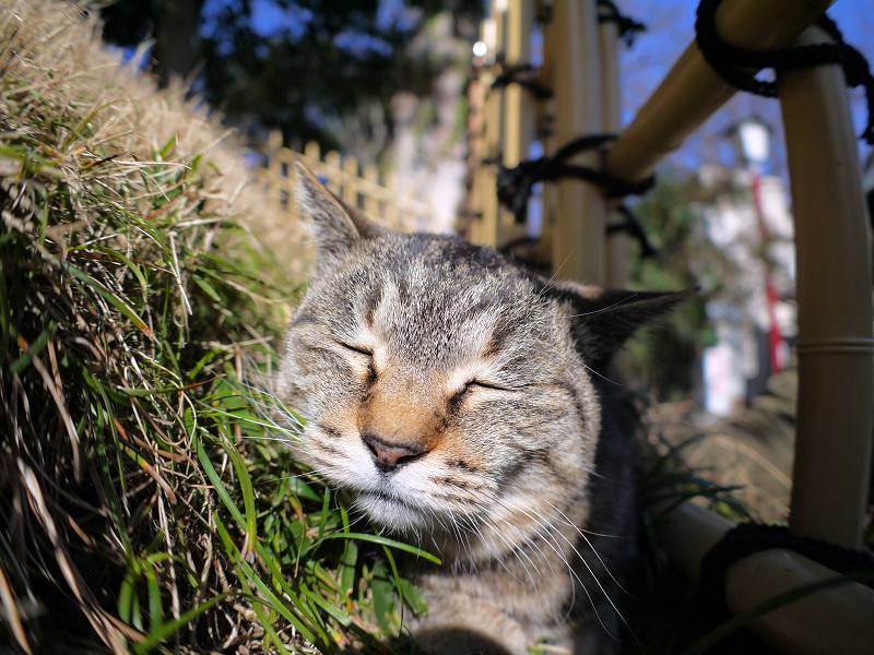 草むらで欠伸するキジトラ猫1