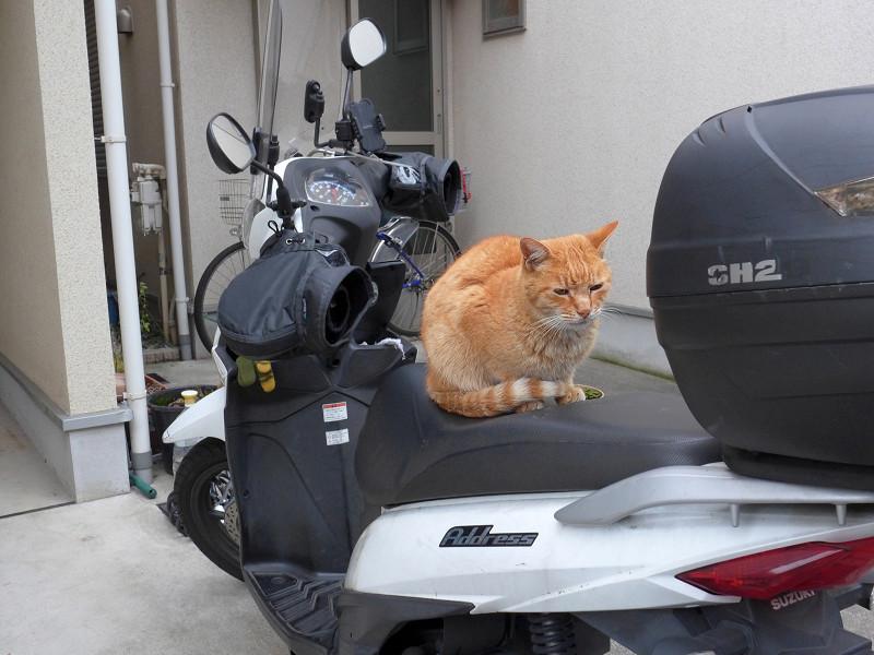 スクターに乗ってる茶トラ猫1