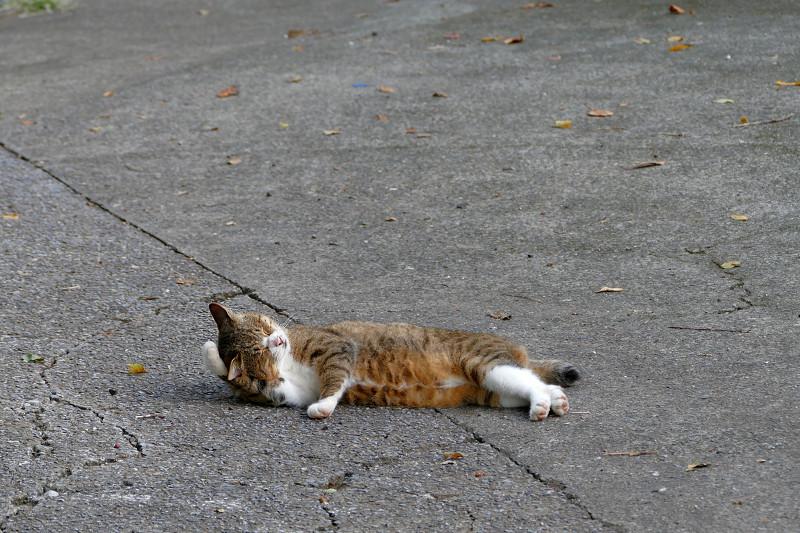 寝転んで毛繕いのキジ白猫1