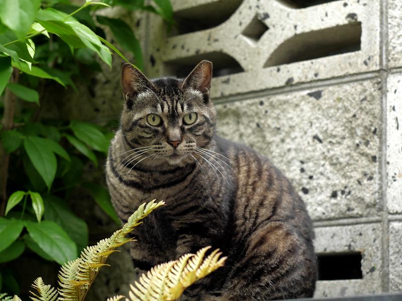 睨み顔のキジトラ猫1