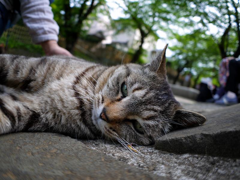 寝そべるキジトラ猫2