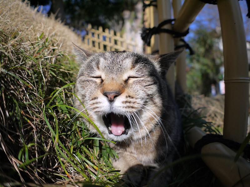 草むらで欠伸するキジトラ猫2