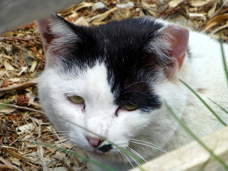 落ち葉の上で寝ていた白黒猫2