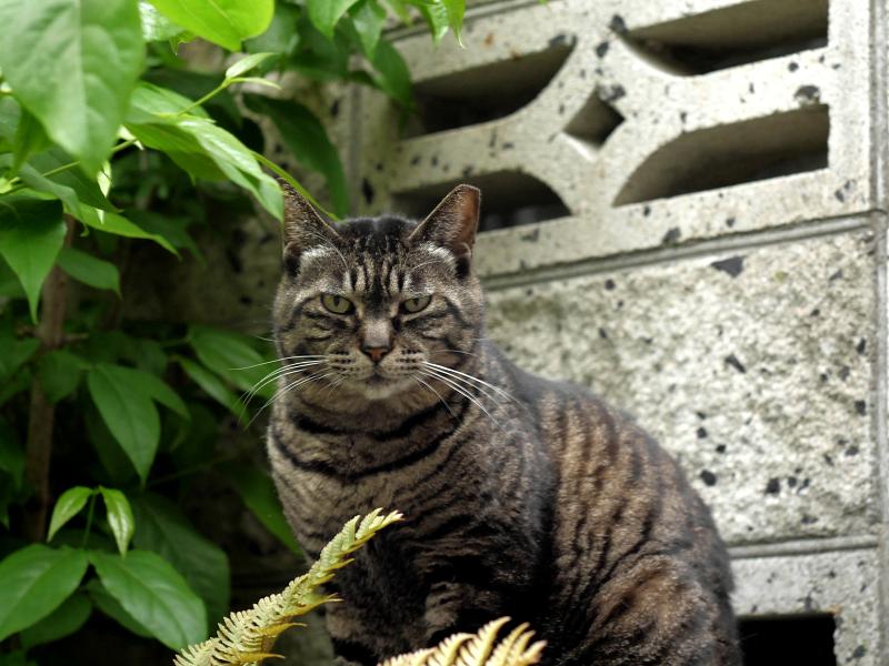 睨み顔のキジトラ猫2