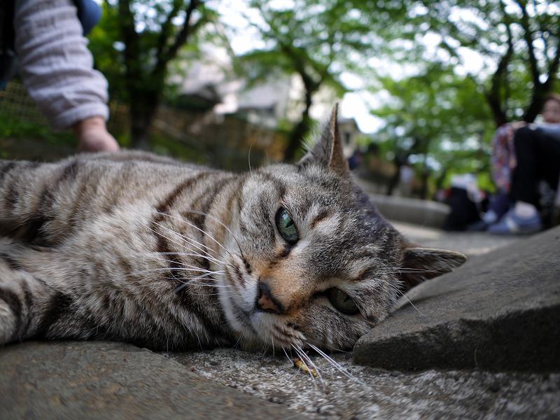 寝そべるキジトラ猫3