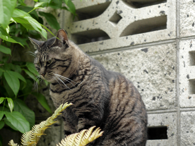 睨み顔のキジトラ猫3