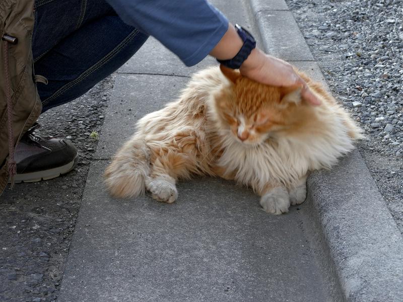 縁石側で立っている毛長の茶白猫1