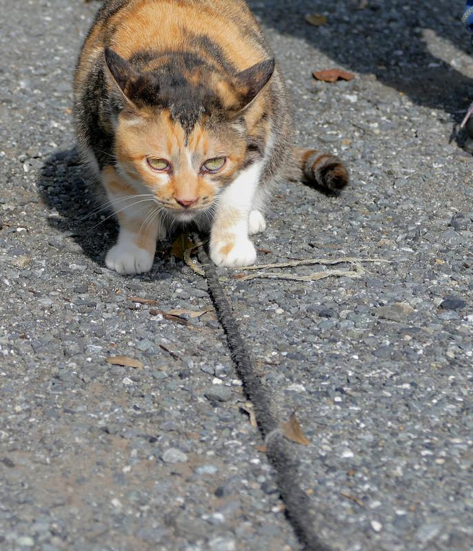 ロープに擦りつける三毛猫1