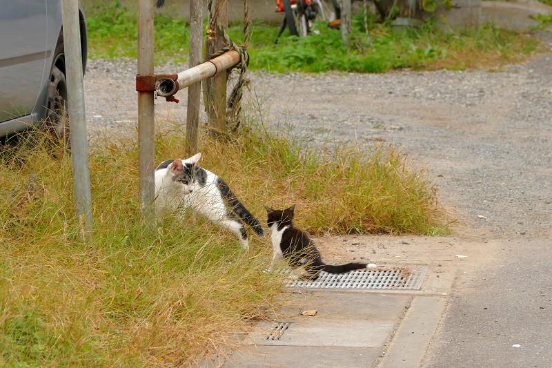 父さん猫と遊ぶ黒白猫1