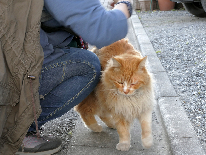 縁石側で立っている毛長の茶白猫2