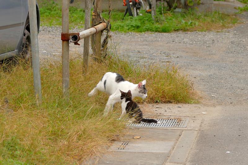 父さん猫と遊ぶ黒白猫2