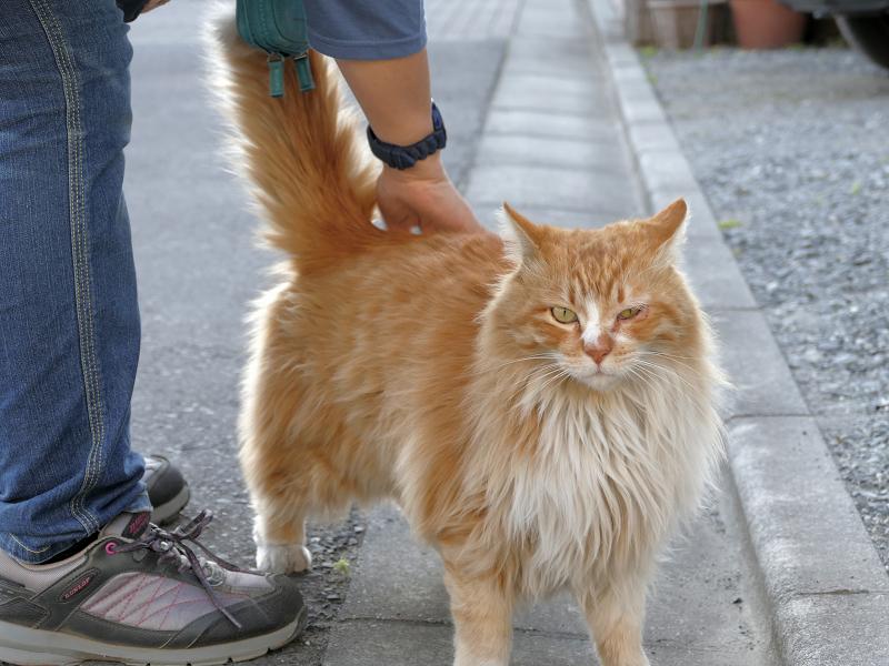 縁石側で立っている毛長の茶白猫3
