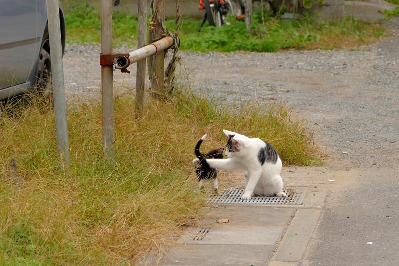 父さん猫と遊ぶ黒白猫3