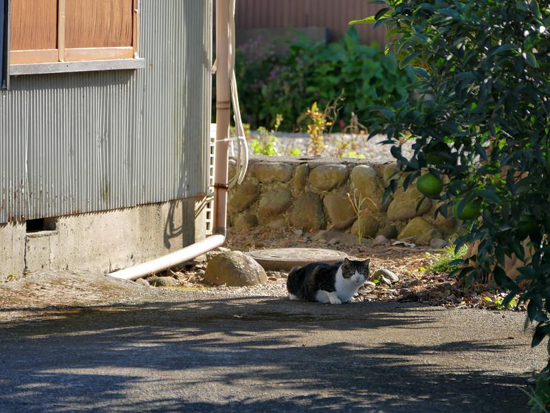 木陰に座ってるキジ白猫3