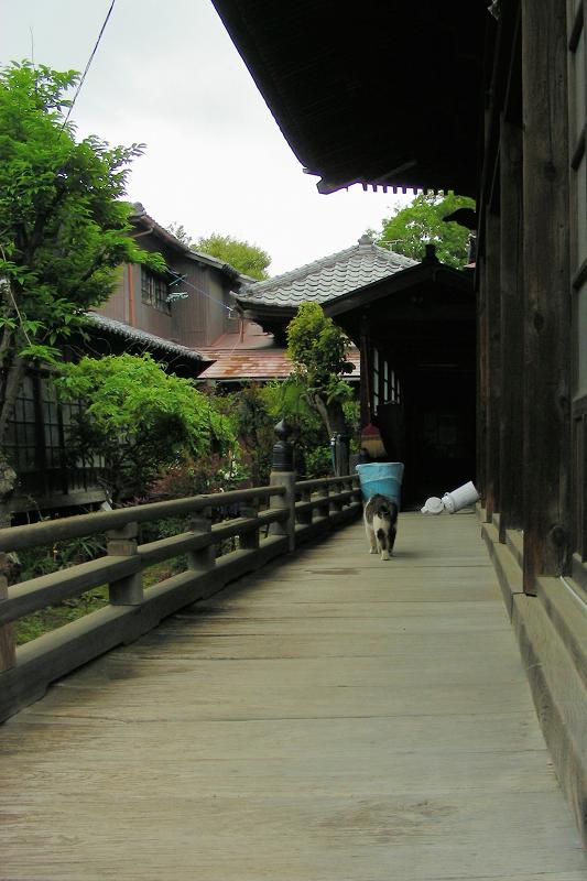 古いお堂の濡れ縁を歩くキジ白猫1