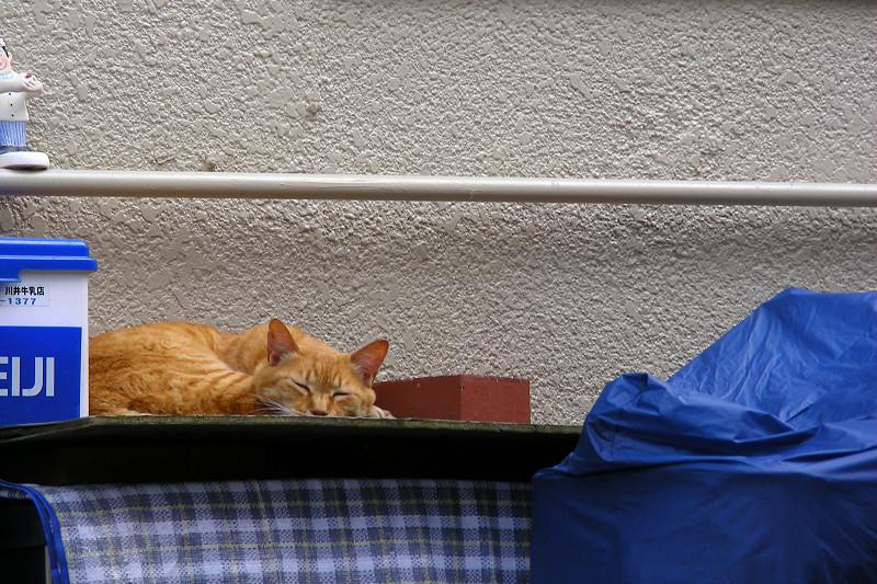 ハウスの上で寝ている茶トラ猫1