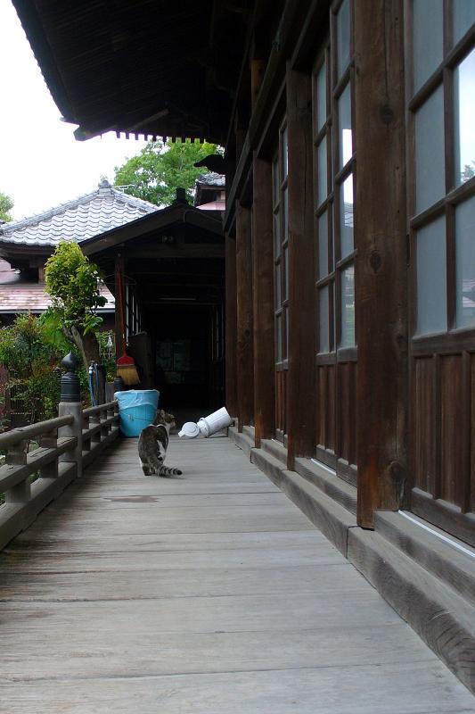 古いお堂の濡れ縁を歩くキジ白猫2