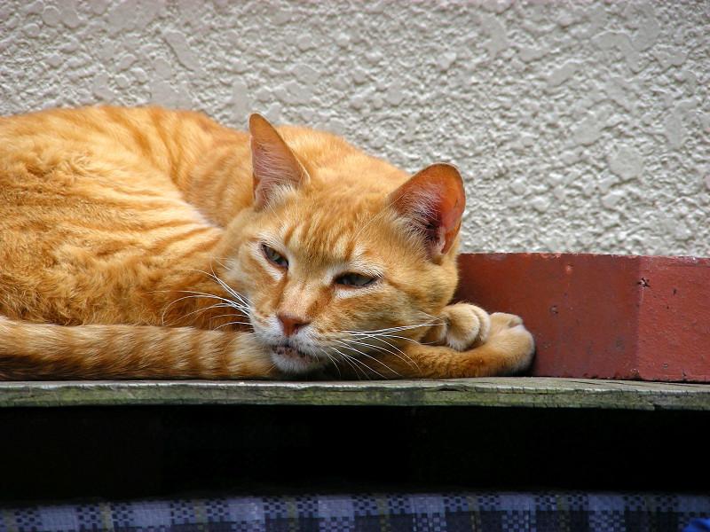 ハウスの上で寝ている茶トラ猫3