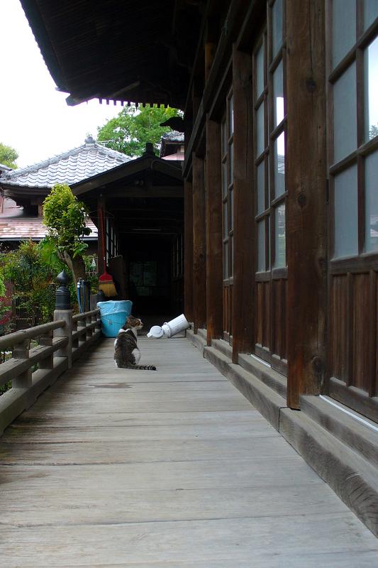 古いお堂の濡れ縁を歩くキジ白猫3