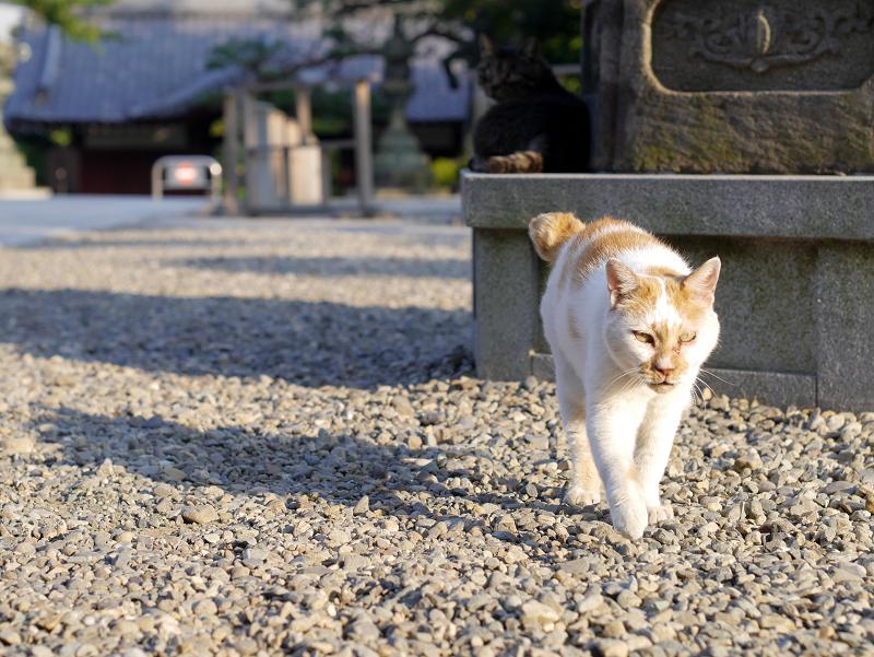 境内の玉砂利と白茶猫1