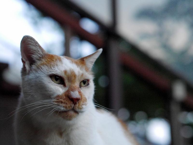 口をなめる白茶猫1