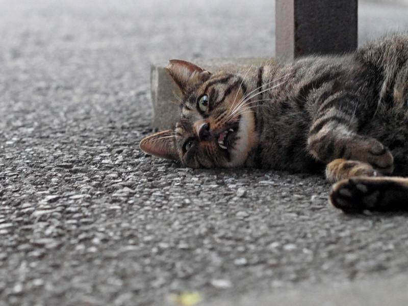 変な顔のキジトラ猫1