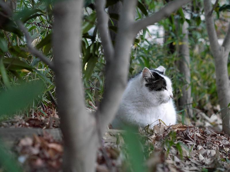 雑木林の白キジ猫1