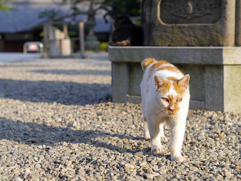 境内の玉砂利と白茶猫2