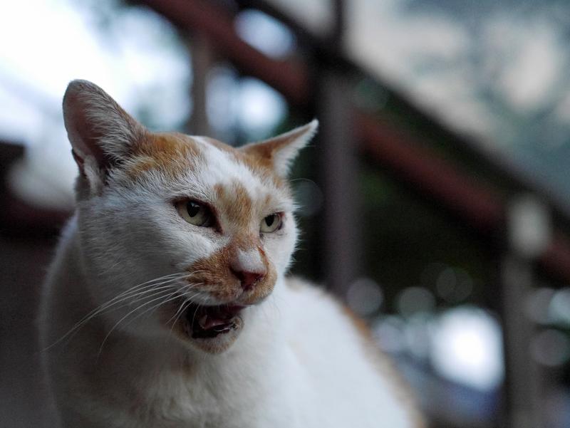 口をなめる白茶猫2