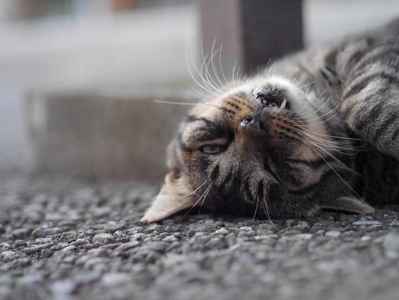 変な顔のキジトラ猫2