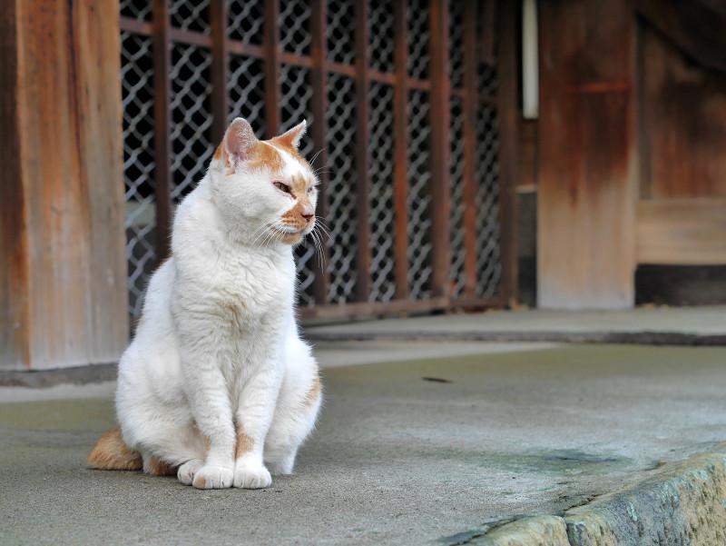 遠くを見つめている白茶猫