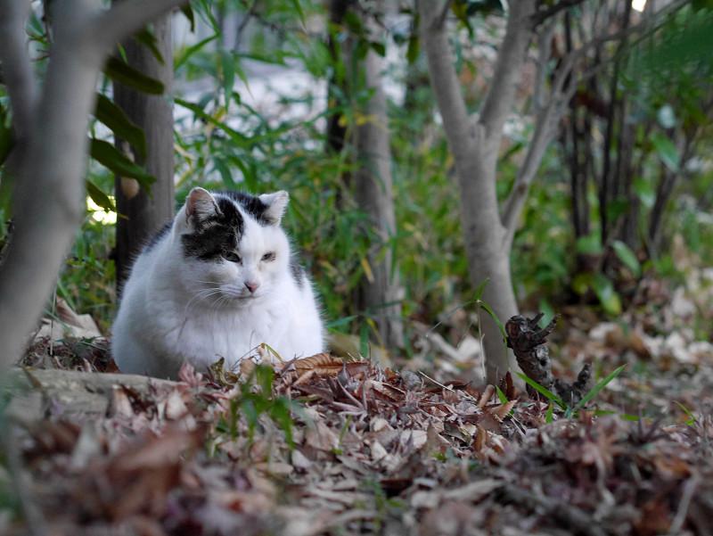雑木林の白キジ猫2