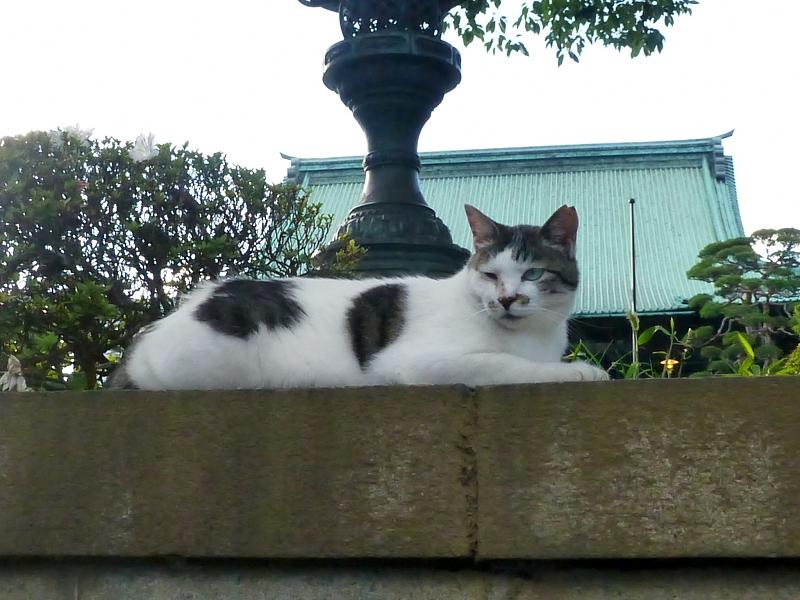 大寺境内の白キジ猫2