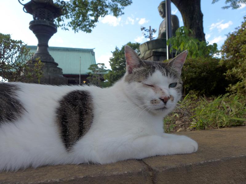 大寺境内の白キジ猫3
