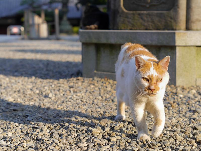 境内の玉砂利と白茶猫3