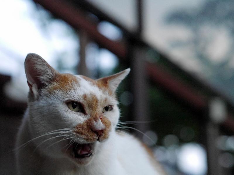 口をなめる白茶猫3