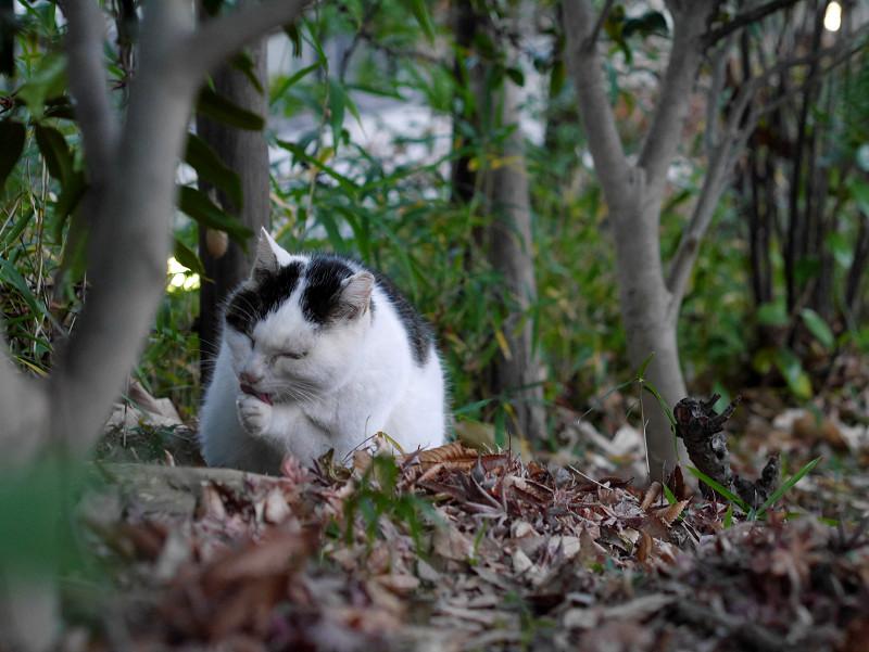 雑木林の白キジ猫3