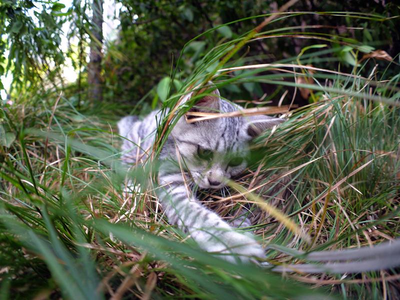 思いっきりストラップで遊ぶサバトラ仔猫1