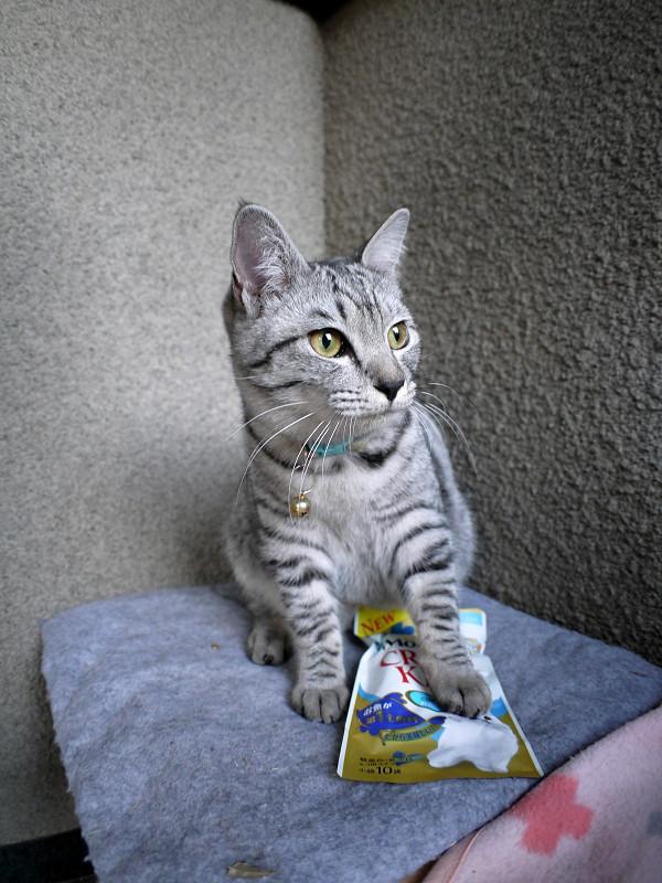キャットフードを踏んでるサバトラ猫1