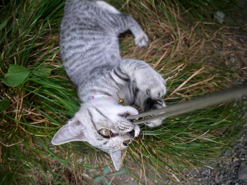 思いっきりストラップで遊ぶサバトラ仔猫2