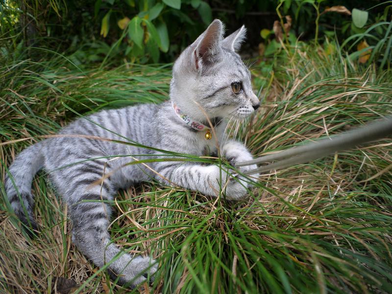 思いっきりストラップで遊ぶサバトラ仔猫3