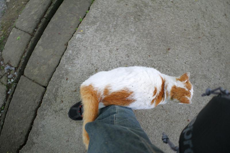 足に尻尾を巻きつける白茶猫1