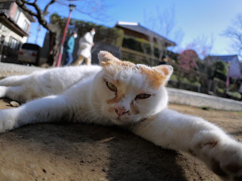 参道で腹ばってる白茶猫1