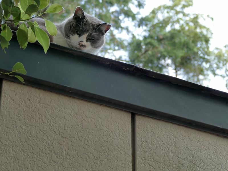 プレハブハウスの屋根のグレー白猫1