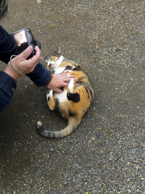 触られてる仰向け三毛猫1
