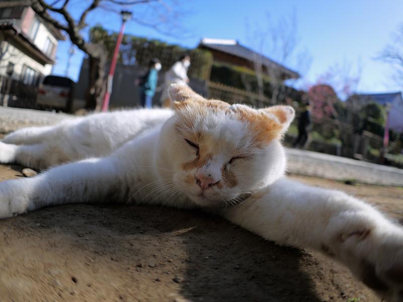 参道で腹ばってる白茶猫2