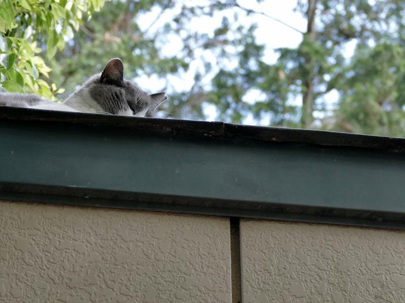 プレハブハウスの屋根のグレー白猫2