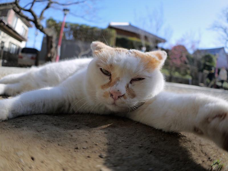 参道で腹ばってる白茶猫3